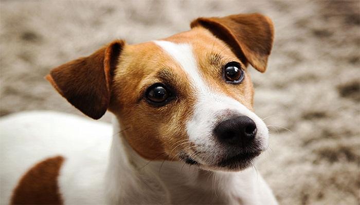 Raza Jack Russell Terrier