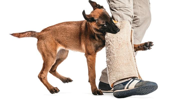 Mordida de perro pastor alemán