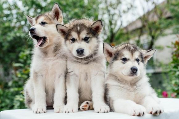 Perros de pelo grueso y manto denso
