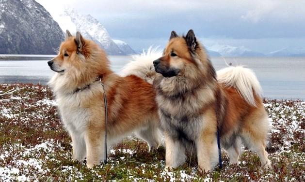 Perros tipo spitz y tipo primitivo
