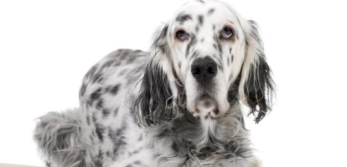 Perros de muestra