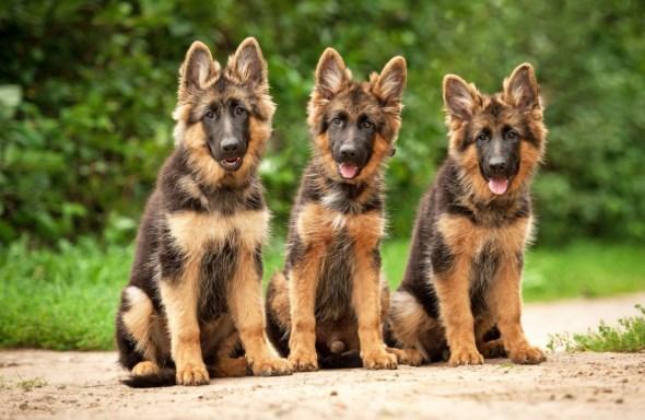 pastor alemán es un buen perro protector y de compañía
