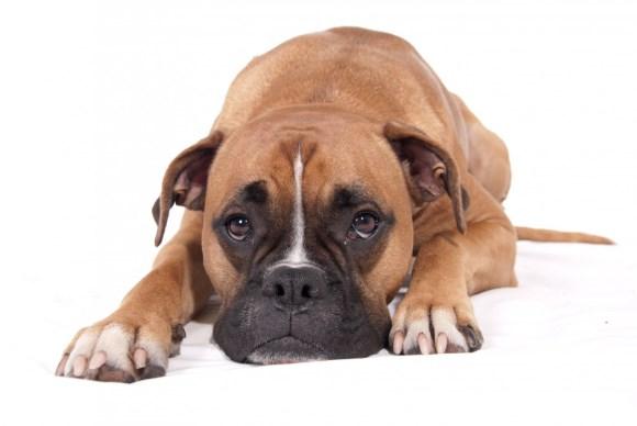 Bóxer, un perro amigable