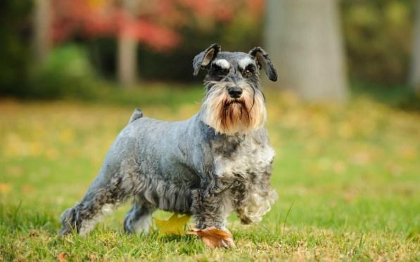 Perros de pelo duro