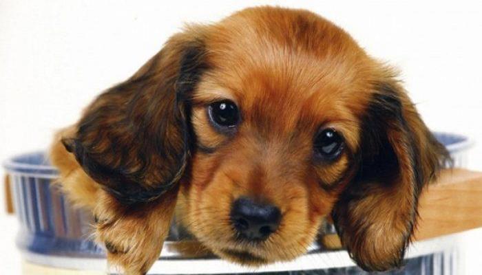 caninos hipoalergénicos