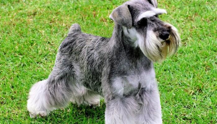 carácter de la raza de perros schnauzer