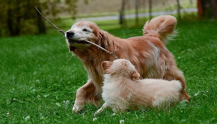 razas de perros cazadores