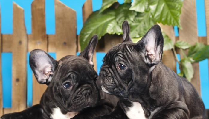 razas de perros grandes que no sueltan pelos