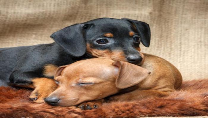todas las razas de perros pequeños más conocidas en el mundo