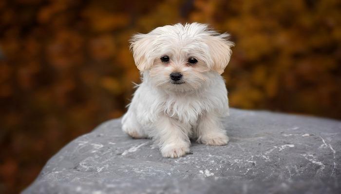 adoptar una raza de perros pequeños