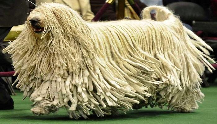 Razas de perros con pelo largo