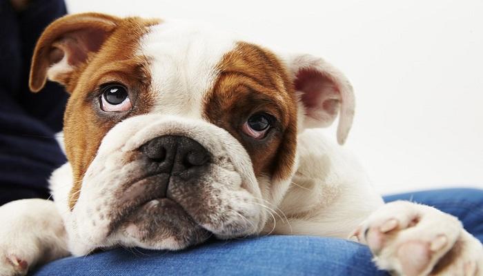 perro bulldog ingles