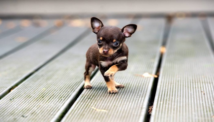 perro Chihuahueño