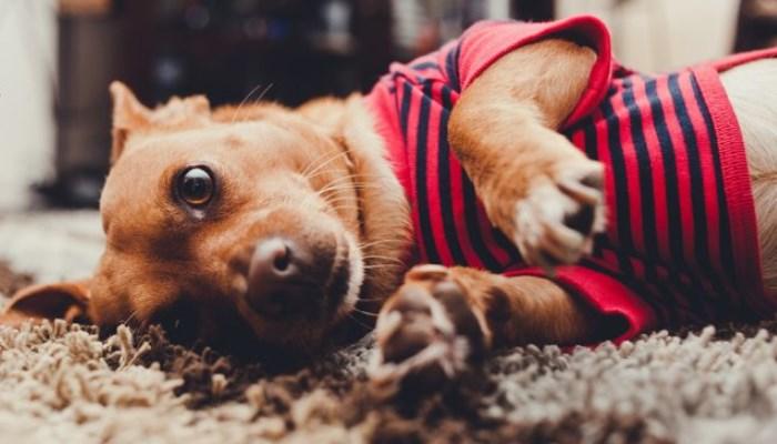 ¿Cómo puedo ayudar a mi perro con convulsiones?