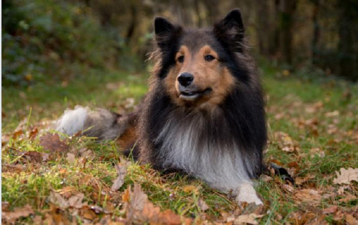 5 datos interesantes sobre el perro ovejero