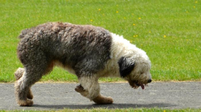 tipos de perro ovejero